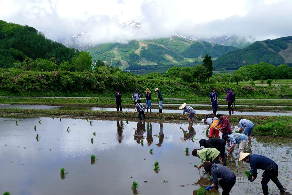 Ces rizières de la vallée d'Hakuba se situent au nord-est de la préfecture de Nagano, au cœur des Alpes japonaises. Qu'est-ce qui rend ces variétés de riz si aptes à faire du saké ?