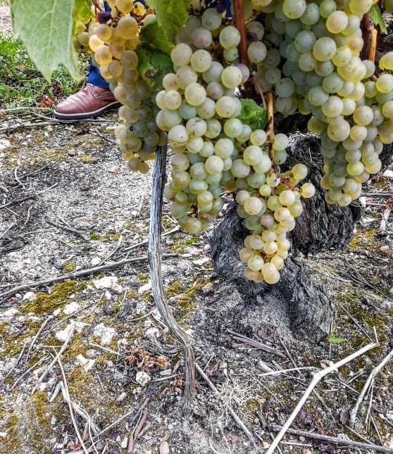 Sur sa célèbre parcelle de romorantin plantée vers 1850, on pratique le provignage (ou marcottage), technique qui avant le phylloxéra, était la méthode utilisée pour multiplier la vigne et remplacer les pieds défectueux (Photo FC