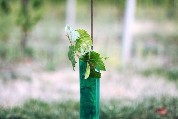jeune plant vigne