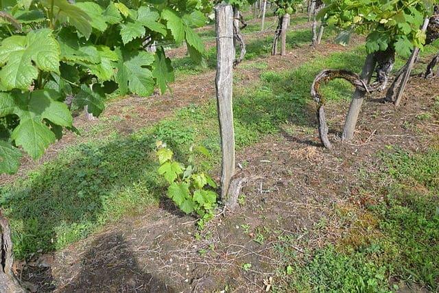 repousse vigne
