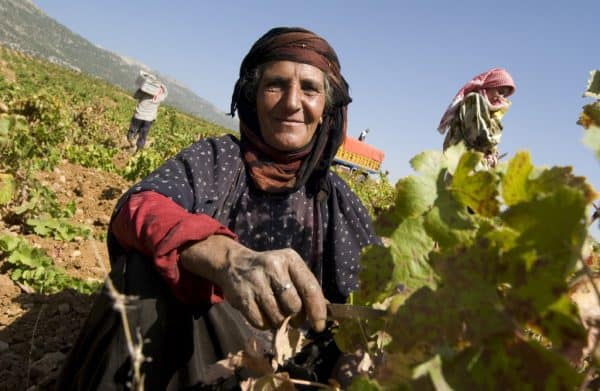 Vendanges dans la Békaa. Aujourd'hui, la vigne rapporte plus que la culture du cannabis et surtout elle évite de vivre dans l'illégalité et la peur (Photo DR)