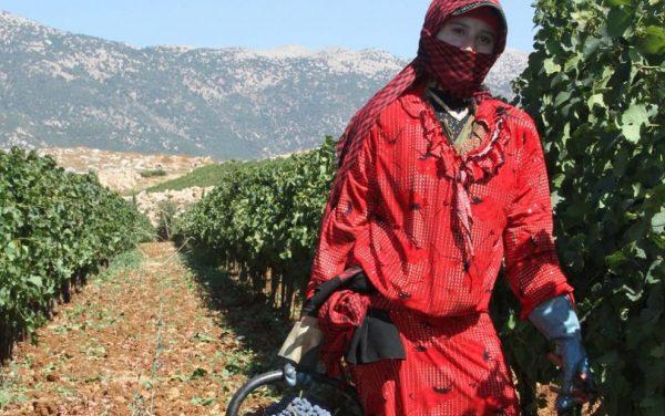 Les vendanges dans les vignobles du château Ksara. Au total, Château Ksara produit : 7 vins rouges, 3 vins rosés, 3 vins blancs et 1 vin doux.