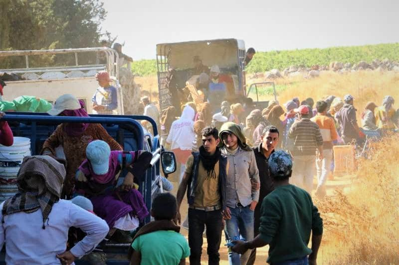 Jour de vendanges dans la plaine de la Békaa (Photo DR)