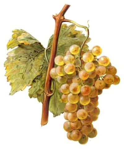Le chasselas appelé également fendant a pour fief, le canton de Vaud en Suisse. Il est né dans l'arc alémanique (lac Léman) il y a environ 2500 ans. Ici, on lui dénombre 17 variétés : fendant roux, le plus commun, plant droit, bois rouge, giclet, violet, rose Parfumé…