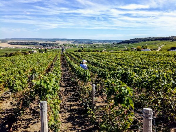 Vignoble de la Montagne de Reims en Champagne (Photo FC)