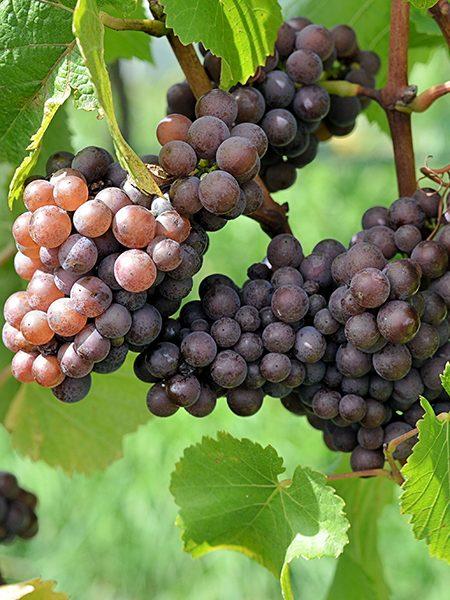 Pinot gris ou pinot grigio .