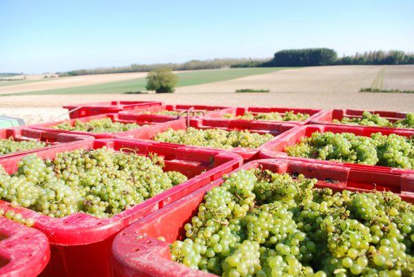 Champagne, après des vendanges 2019 exceptionnelles, menaces sur les vignerons champenois !